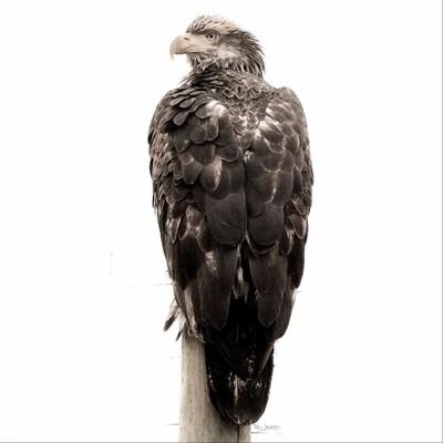 Eagle. Sequim, WA
