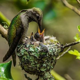 Annas Hummingbird and Chick