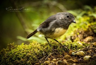 NZ South Island Robin 2018