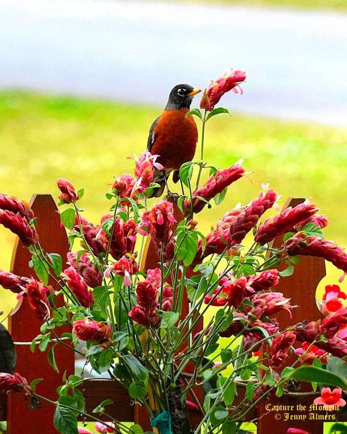 Robin on Fence with Shrimp Plant