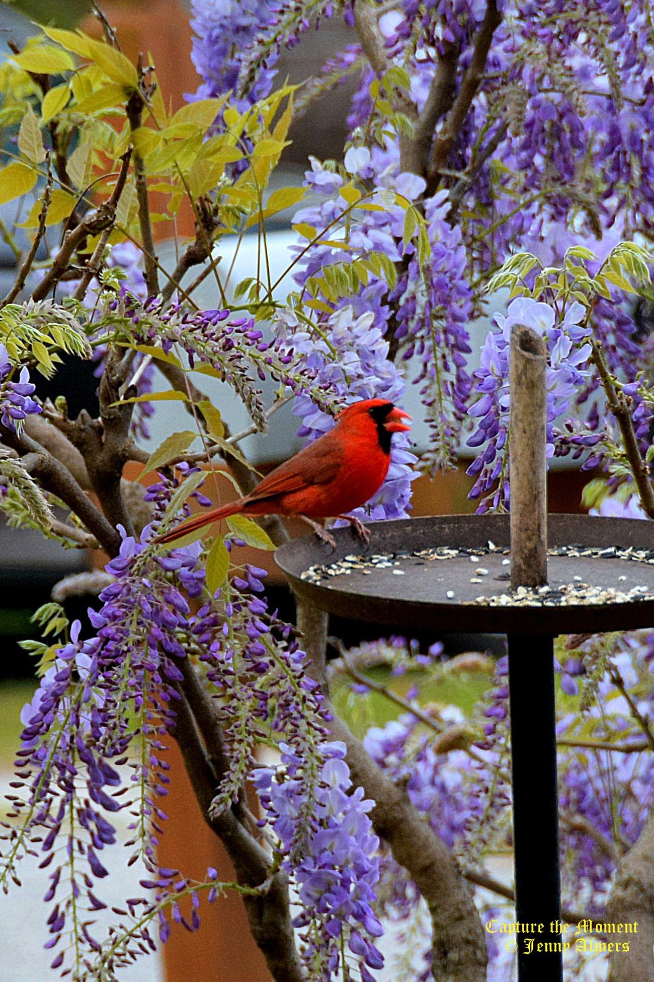 Cardinal and Wisteria