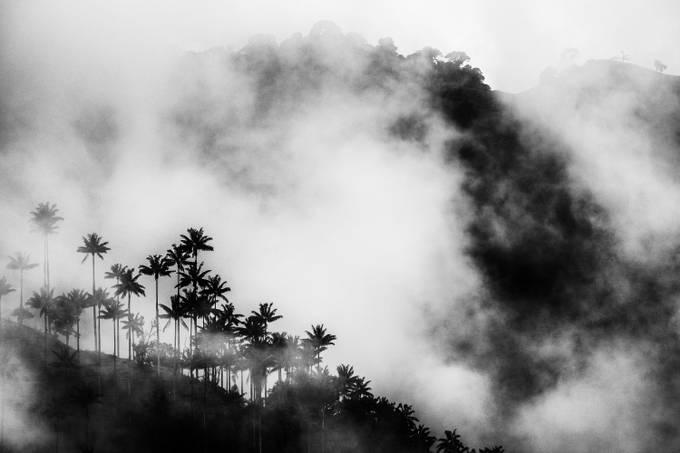 Ceroxylon quindiuense, Colombian national tree. Photo: departamento de Tolima (2.500 m altitude) La Carbonera, march 2018