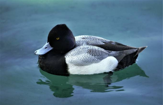 """From Wikipedia, the free encyclopedia:  The greater scaup (Aythya marila), just scaup in Europe or, colloquially, """"bluebill"""" in North America,[3] is a mid-sized diving duck, larger than the closely related lesser scaup. It spends the summer months breeding in Alaska, northern Canada, Siberia, and the northernmost reaches of Europe. During the winter, it migrates south to the coasts of North America, Europe, and Japan.  Drake greater scaup are larger and have more rounded heads than the females; they have a bright blue bill and yellow eyes. Their heads are dark, with a green gloss; the breast is black, the belly white and the wing shows a white stripe. The females are mostly brown, again with white on the wing. They have dull blue bills and white on the face.  Greater scaup nest near water, typically on islands in northern lakes or on floating mats of vegetation. They begin breeding at age two, but start building nests in the first year. The drakes have a complex courtship, which takes place on the return migration to the summer breeding grounds and concludes with the formation of monogamous pairs. Females lay a clutch of six to nine olive-buff-colored eggs. The eggs hatch in 24 to 28 days. The down-covered ducklings are able to follow their mother in her search for food immediately after hatching.  Greater scaup eat aquatic molluscs, plants, and insects, which they obtain by diving underwater. They form large groups, called """"rafts"""", that can number in the thousands. Their main threat is human development, although they are preyed upon by owls, skunks, raccoons, foxes, coyotes, and humans. Greater scaup populations have been declining since the 1980s; however, they are still listed as a species of least concern on the IUCN Red List.[2]  axonomy The genus name Aythya is derived from the Ancient Greek aithuia which refers to a seabird mentioned by Aristotle and others and is thought to refer to a duck, auklet or other seabird. The species name marila is from the Greek """