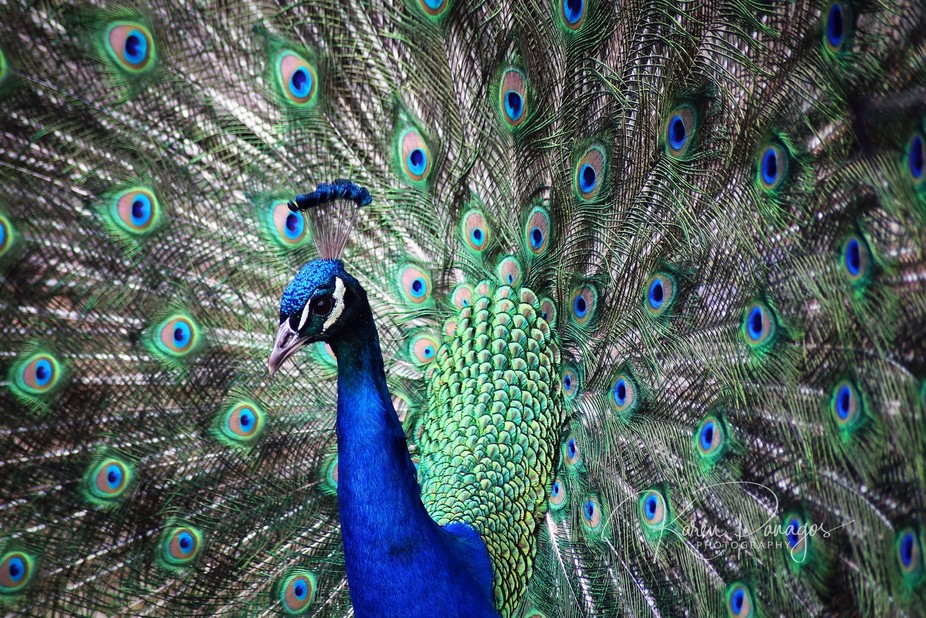 Best Peacock