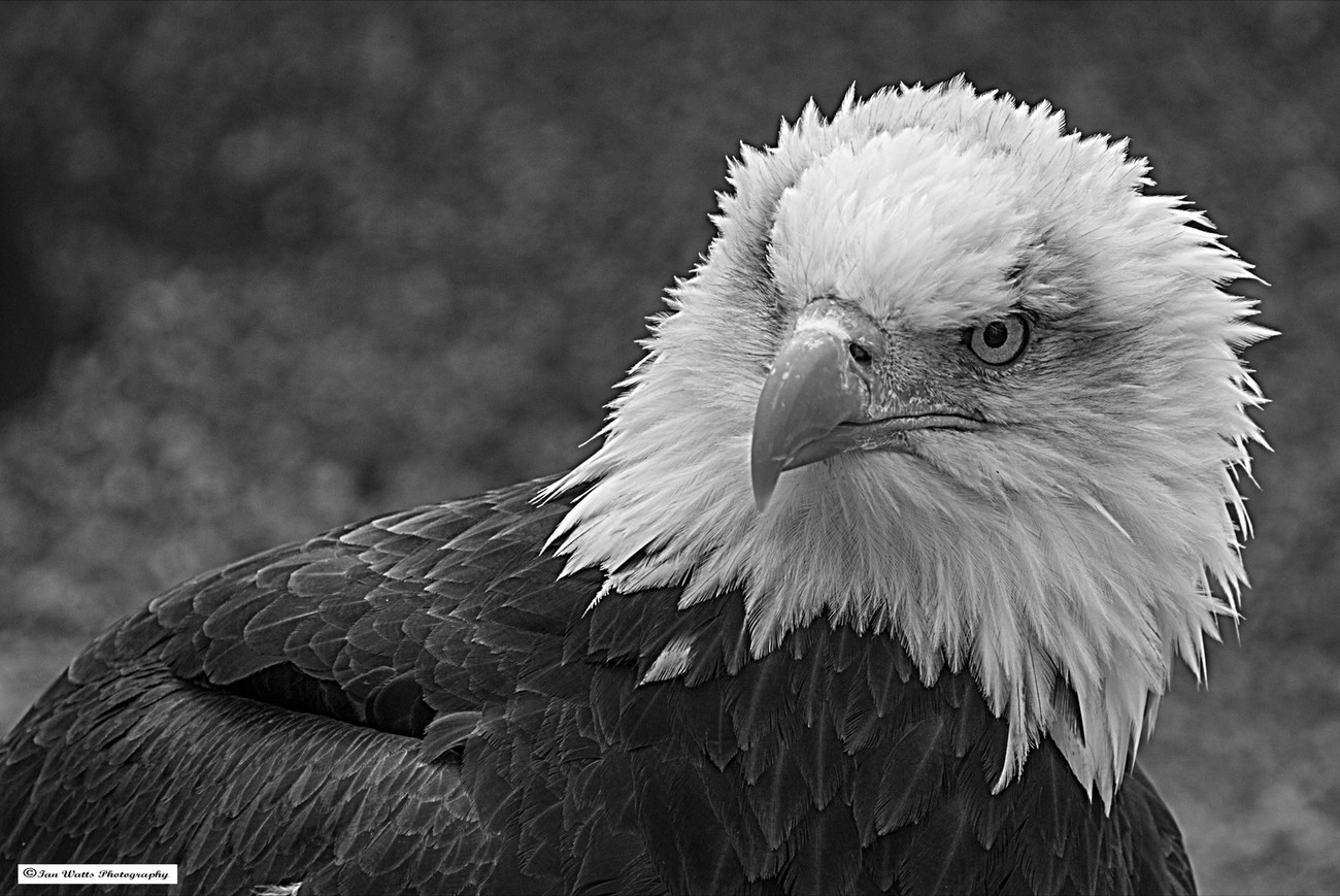 Fierce stare from this bald eagle.
