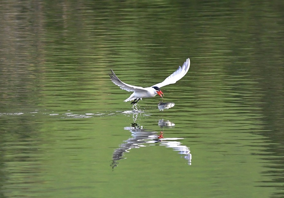 Sometimes you can bite off more than you can chew. This tern found that out early this morning