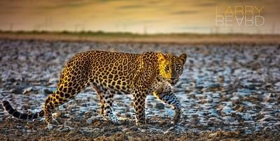 Leering Leopard