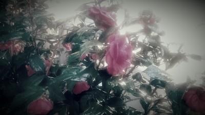 Briar Roses