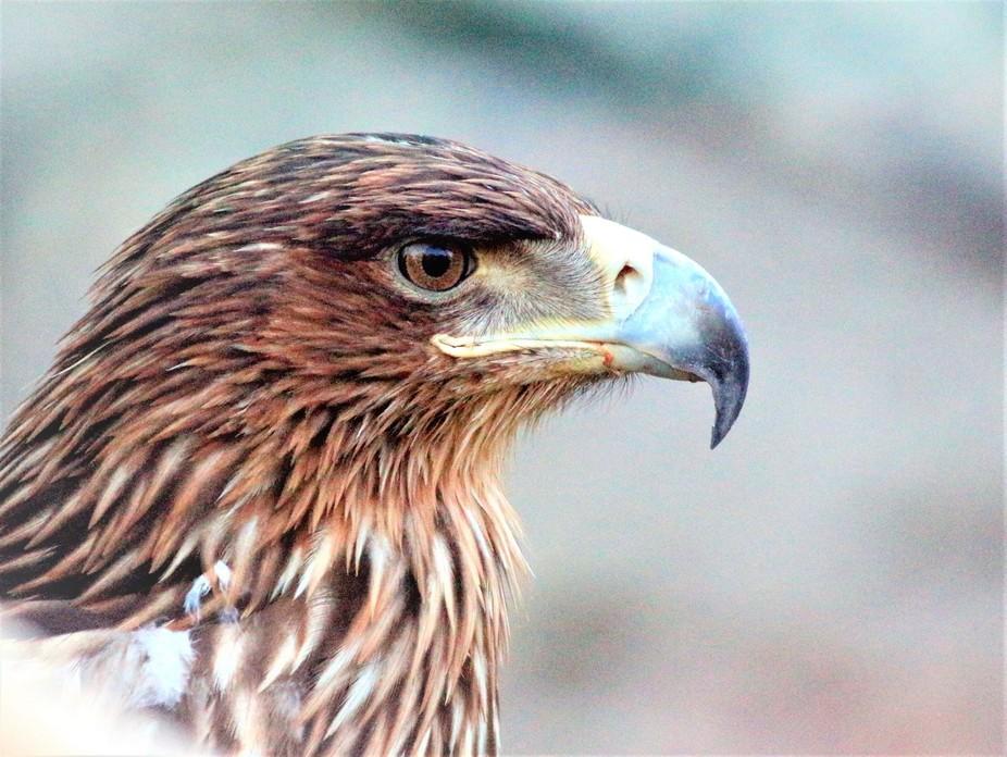 Kaya kartalı/ Golden Eagle / Aquila chrysaetos