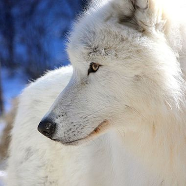 Grayson, a male arctic subspecies of the gray wolf and member of the Ambassador pack at the International Wolf Center in Ely, MN.  Grayson is 22 months old here.