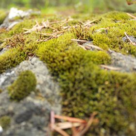 Moss growing on a rock