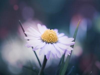 Little dreamy daisy