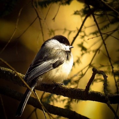I don't think I have ever had a Black-capped Chickadee sit and pose as long as this one. #trailsend #blackcappedchickadee #wander #woods #outthebackdoor #backyardnature #birding #birdphotography #birdwatching #birdsofinstagram #pocket_birds #elite_worldwi