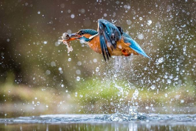 Kingfisher-2 by saafphotography - Wildlife And Water Photo Contest