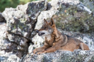 the Iberian wolf, so loved and so hated ...