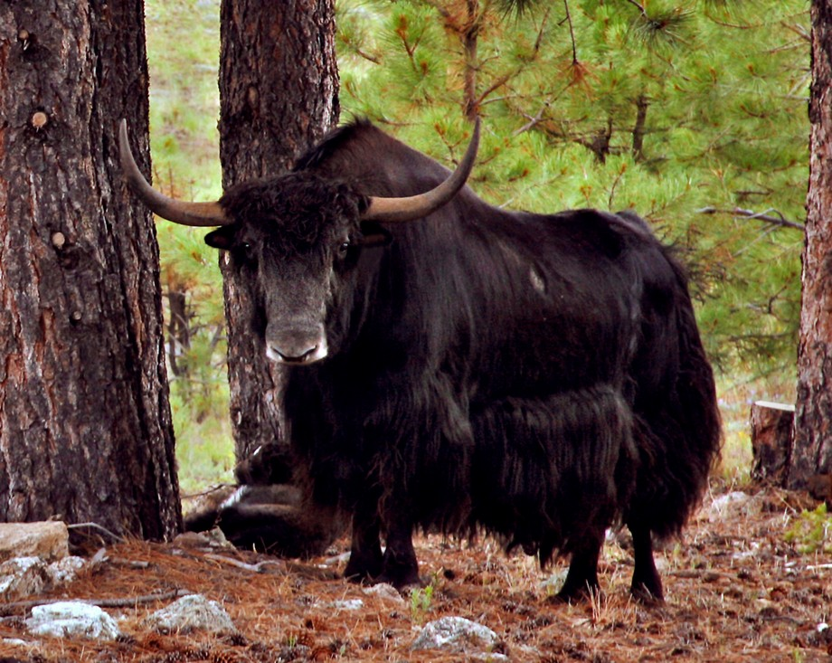 "I've seen yaks in Nepal, where they live at and above 9,000 feet elevation. But a yak in New Mexico? Well this big boy lives at nearly 9,000 feet in the shadow of the 13,000-ft Truchas Peaks. He, his ""wives,"" and children share a friend's land with a herd of bison.  Details: Canon EOS 5D, Canon 28-135 mm  IS lens at 135 mm, ISO 400, f/9, 1/200"