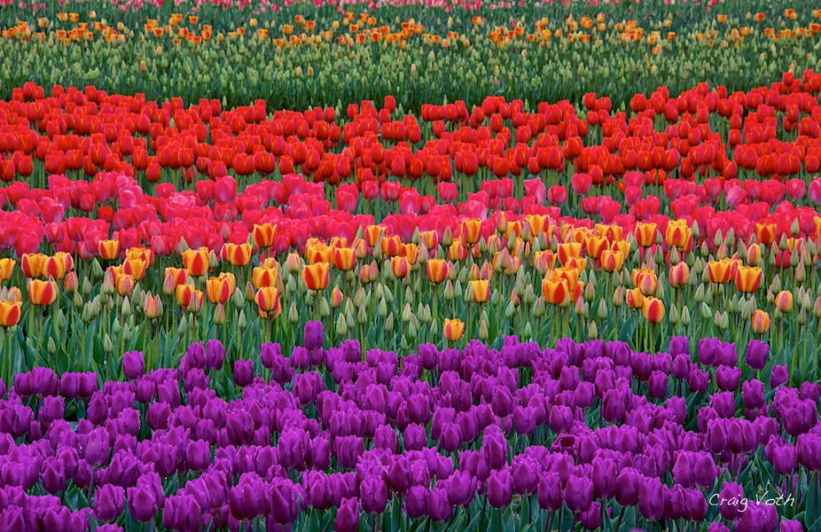 Colorful fields of tulips in full bloom at the Wooden Shoe Tulip Farm.