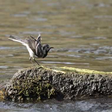 White wagtail (Motacilla alba)