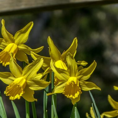 a bunch o Forres Daffies