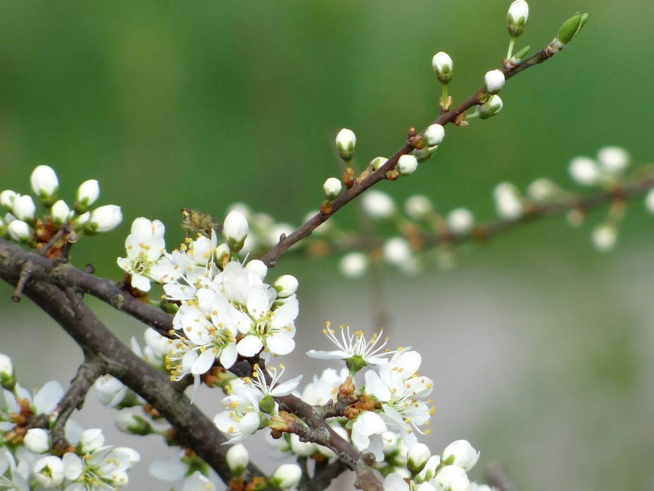 Cute little white spring blossoms and green background.