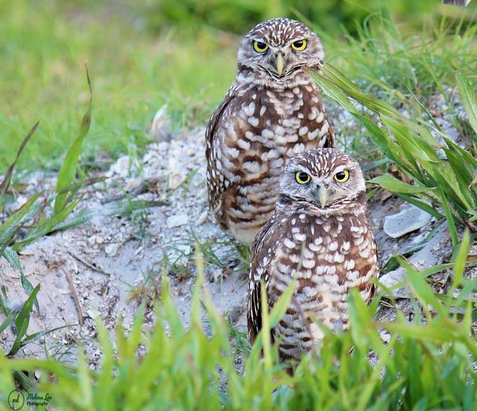 Burrowing Owls by melissajlee - Image Of The Month Photo Contest Vol 32