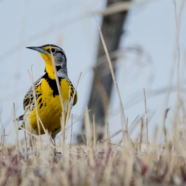 meadowlark,
