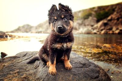 Chodsky pes puppy