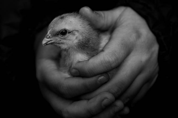 Black and white chick by KaKiteTokuKanohi - Shooting Hands Photo Contest