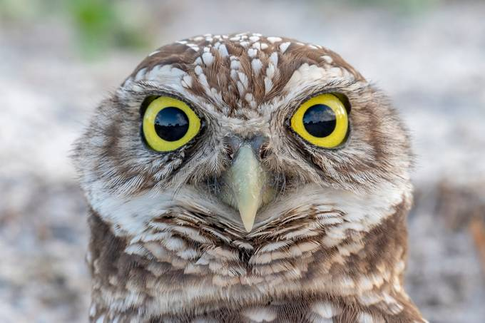 It's in the eyes by DesiDrewPhotography - Beautiful Owls Photo Contest
