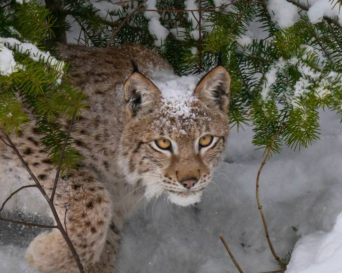Lynx in the woods by Mtheil - Stillness Photo Contest