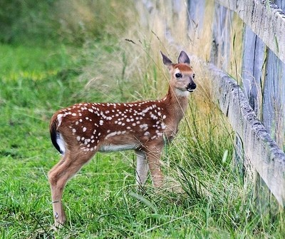 Fawn at Fence