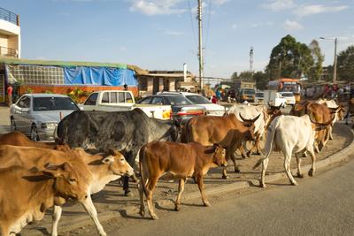 Cattle turning left...