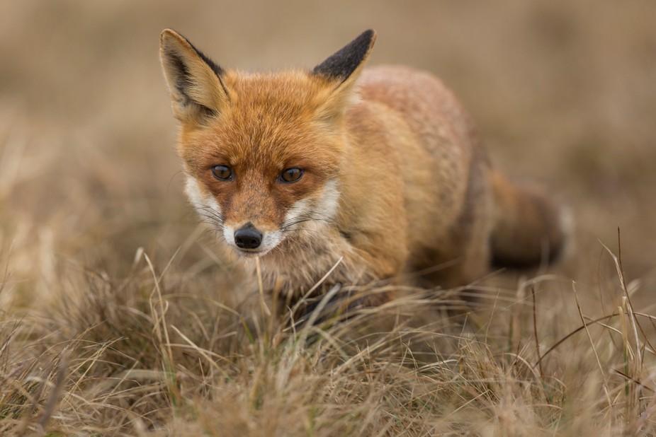 red fox in dry grass