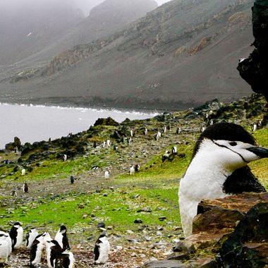 Colony of chin strap penguins in the Antarctic!