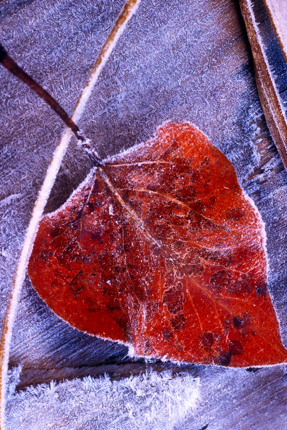 "Taken during a winter photography class in Yosemite Valley.This frosted leaf was captured on 35-mm slide film--probably Velvia or Ektachrome 100. The image on the scanned slide was cropped, so what you see is probably about 25% of the original. I've had it enlarged to a 20"" x 30"" giclée print and was amazed that the ice crystals were still sharp.  Camera was a Canon EOS 3, Canon 50 mm f/1.4 lens(handheld)."
