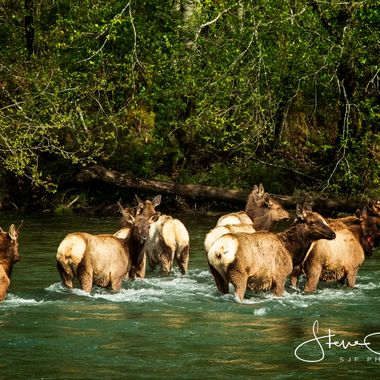 I was driving the 101 near Dosewallips State Park and I saw alone the ride a herd of between 30-45 Elk , a quick U Turn and grabbed by camera to watch the graze and finally walk across the Dosewallips River ... Very Amazing..