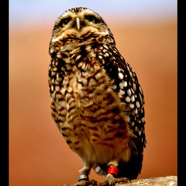 Perched Owl.