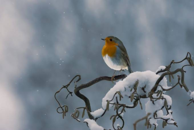 Soft Robin by lindapersson - Image Of The Month Photo Contest Vol 32