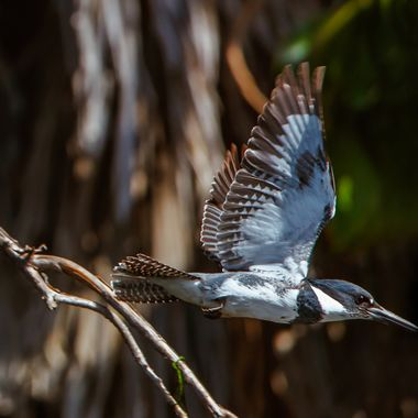 I wish I could compose this better but In-flight kingfishers are so tough to catch.