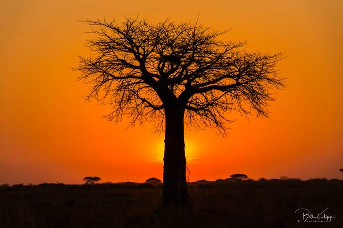 Baobab Sunrise, Tanzania by billklipp - Tree Silhouettes Photo Contest
