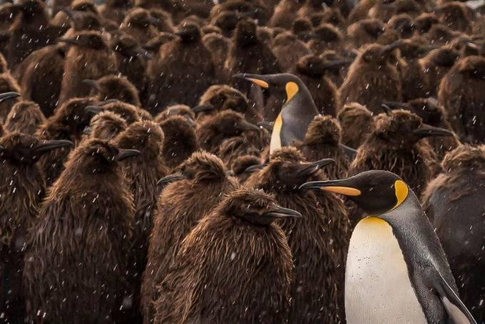 King Penguins, South Georgia Island by billklipp - Celebrating Earth Day Photo Contest 2019