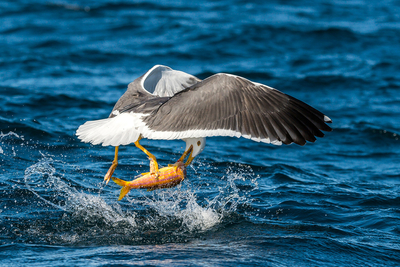 Yellow-Footed Gull, Baja