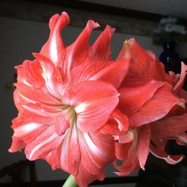Amarylis bloom