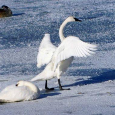 Trumpeter Swan Migration