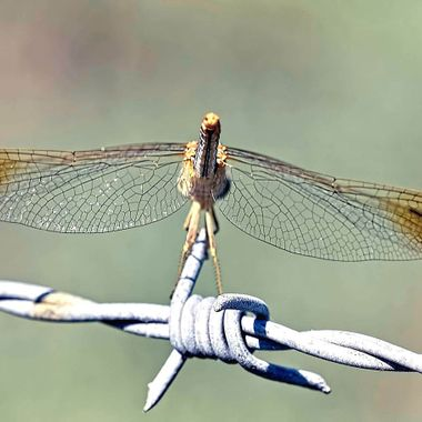Wingspan of a Dragon Fly
