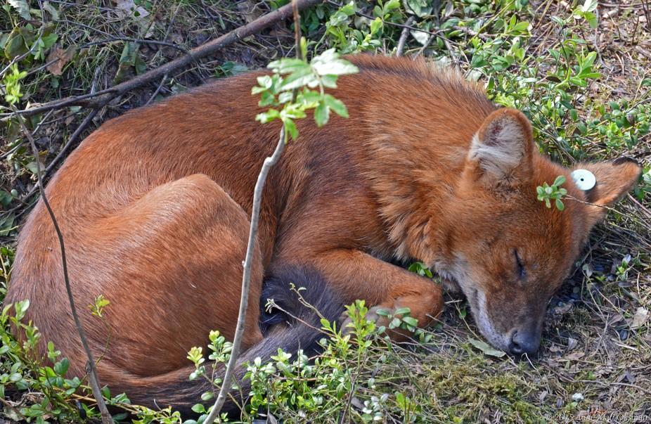 Hush, Cuon alpinus is sleeping