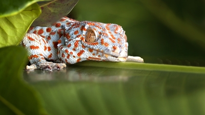 Spotted Tokay Gecko