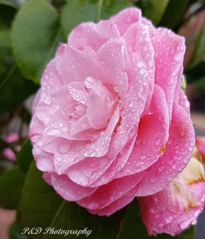 Drenched Camelia