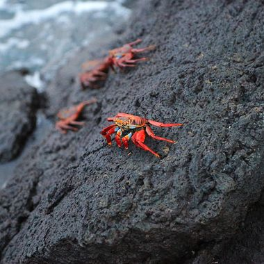 Colorful Sally Lightfoot crabs of the Galapagos Islands!