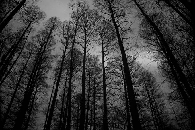 Pine in B&W by crawfras - Tree Silhouettes Photo Contest
